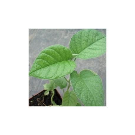 hawaiian baby woodrose plant