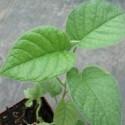 Argyreia nervosa HBW, LIANE D'ARGENT (plante)