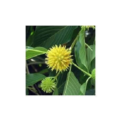 kratombaum pflanze