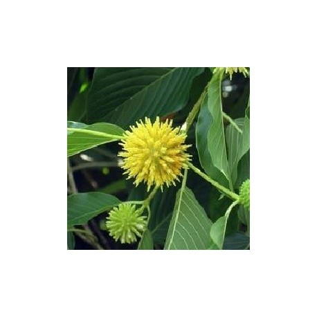 kratom live plant