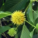 Mitragyna speciosa KRATOMBAUM (pflanze)