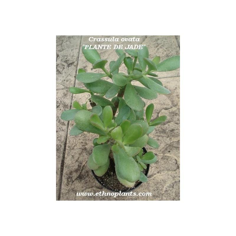 Arbre de jade plante de crassula ovata for Plantes en ligne belgique