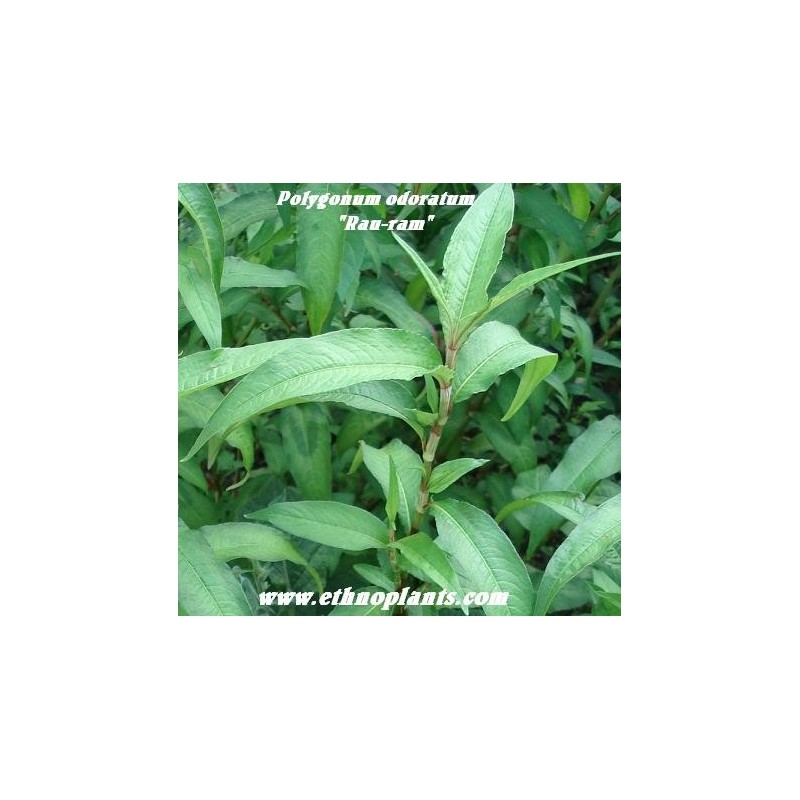 vietnamesischer koriander persicaria odoratum pflanze kaufen. Black Bedroom Furniture Sets. Home Design Ideas