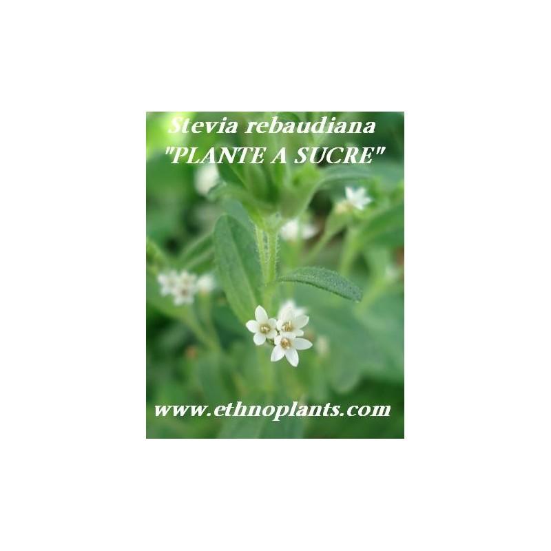 plante sucre plante de stevia rebaudiana. Black Bedroom Furniture Sets. Home Design Ideas