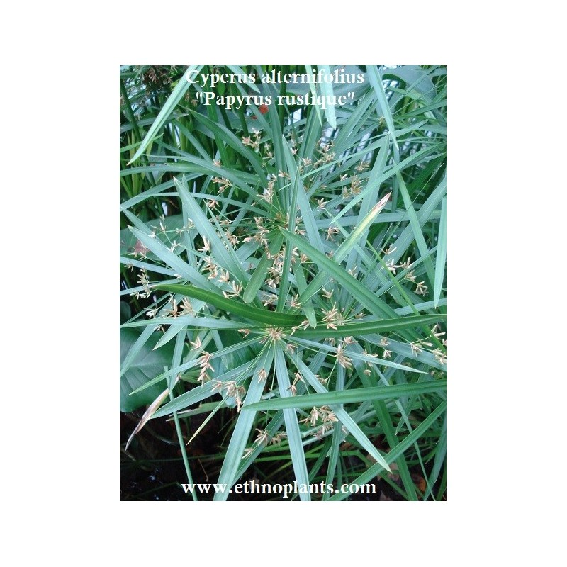 papyrus rustique plante de cyperus alternifolius. Black Bedroom Furniture Sets. Home Design Ideas
