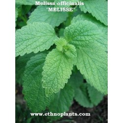Melissa officinalis ZITRONEN-MELISSE (pflanze)