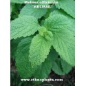 Melissa officinalis LEMON BALM (plant)