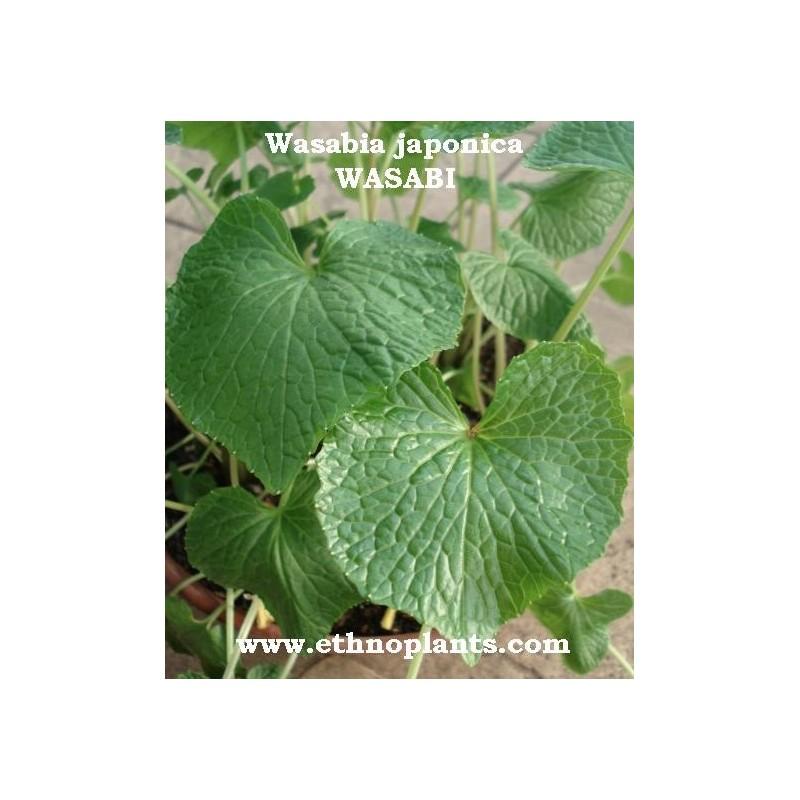wasabi plante de wasabia japonica