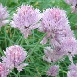Allium schoenoprasum SCHNITTLAUCH (pflanze)