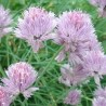 chives live plant