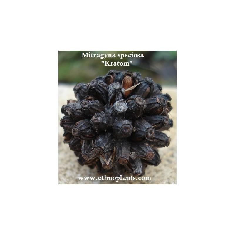 Kratom Mitragyna Speciosa Seeds Pods For Sale