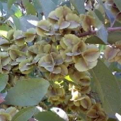 Combretum quadrangulare seeds