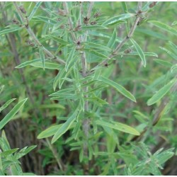 Satureja hortensis AJEDREA (25 semillas)