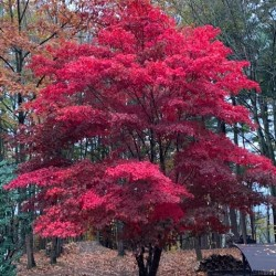 Acer palmatum atropurpureum JAPANESE MAPLE (10 seeds)