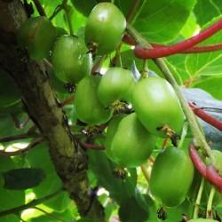 Actinidia arguta KIWI DE SIBÉRIE / KIWAI (20 graines)