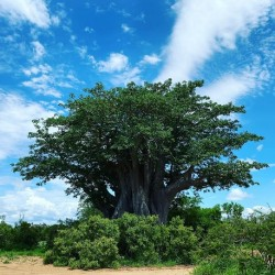 Adansonia digitata BAOBAB / AFFENBROTBAUM (8 samen)