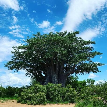 baobab-arbol