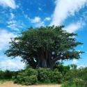 Adansonia digitata BAOBAB TREE (8 seeds)