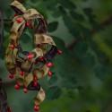 Adenanthera pavonina CORALITO / ÁRBOL DE PERLAS (10 semillas)