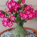 Adenium obesum ROSA DEL DESIERTO / ADENIO (10 semillas)