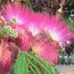 Albizia julibrissin SILK TREE (10 seeds)