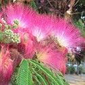 Albizia julibrissin SILK TREE (10 seeds)