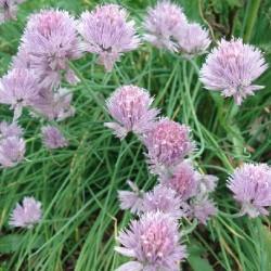 Allium schoenoprasum CEBOLLINO (planta)