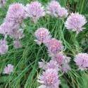 Allium schoenoprasum CIBOULETTE / CIVETTE (plante)