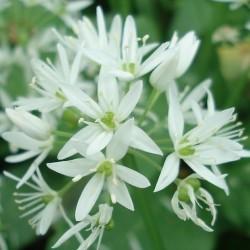 Allium ursinum AIL DES OURS / AIL DES BOIS (25 graines)