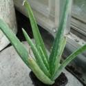 Aloe vera MEDICINAL ALOE (plant)