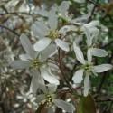 Amelanchier canadensis CORNILLO / GUILLOMO (10 semillas)