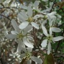 Amelanchier canadensis SERVICEBERRY / JUNEBERRY (10 seeds)