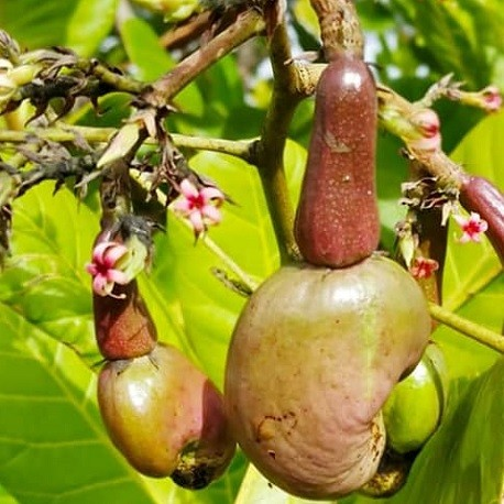 anacardo-semillas