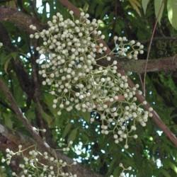 Anamirta cocculus COQUE DU LEVANT (6 graines)