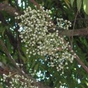 Anamirta cocculus FISH BERRY / LEVANT NUT (6 seeds)