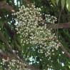 Anamirta-fishberry