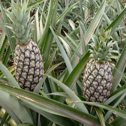 Ananas comosus PINEAPPLE (6 seeds)
