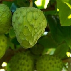 Annona cherimola CUSTARD APPLE (5 seeds)