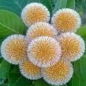 Anthocephalus cadamba KADAM TREE / KADAMBA (10 seeds)