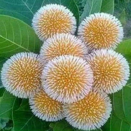 Kadam Tree Seeds Kadamba For Sale Anthocephalus Cadamba