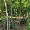 adlerholzbaum