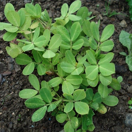 erdnuss-pflanze