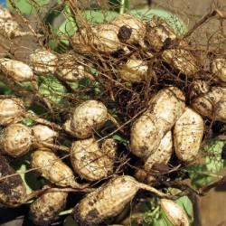 Arachis hypogaea CACAHUÈTES (10 graines)