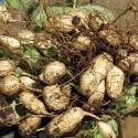 Arachis hypogaea ERDNUSS (10 samen)