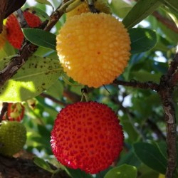 Arbutus unedo STRAWBERRY TREE (7 seeds)