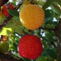 Arbutus unedo ARBOUSIER, ARBRE A FRAISE (7 graines)