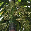 Areca catechu BETEL PALM (3 seeds)