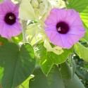Argyreia nervosa HBW, HAWAIIAN BABY WOODROSE (plant)