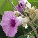Argyreia nervosa ROSA LISÉRGICA (10 semillas)