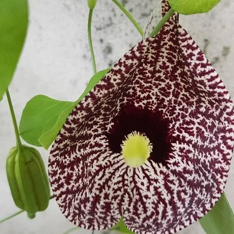 fleur-de-calico
